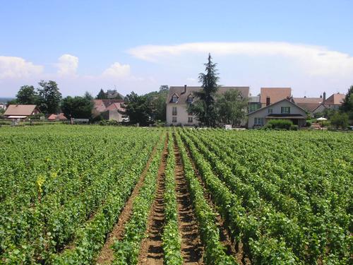 Vignoble à Dijon