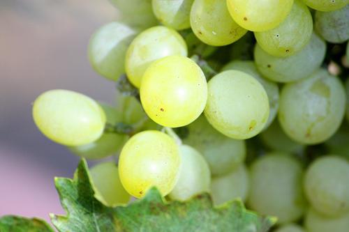 Vignoble en Champagne-Ardennes